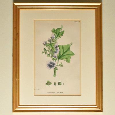 アンティークボタニカルアート 植物図鑑 TREE MALLOW  LAVATERA ARBOREA  モクアオイ 銅版画 エッチング ボタニカル ガーデン イングリッシュガーデン